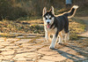 Husky (antonio.canoci) Tags: cane dog husky ombre ritratto