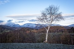 'Rooted to the rocks'.... (Taken-By-Me) Tags: takenbyme tree view scene scenic outdoors outside sky blue clouds mountains snow tops alone lone rocks quarry slate branch d750 nikon