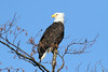 Haliaeetus leucocephalus (Bald Eagle) - Skagit, WA (Nick Dean1) Tags: haliaeetusleucocephalus aves falconiformes baldeagle eagle raptor predator predatorybird washingtonstate washington washingtonusa skagitcounty skagitvalley thewonderfulworldofbirds birdperfect birdwatcher