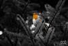 The Little Robin (Forty-9) Tags: saturday january eos60d bird 14012017 eflens lightroom canon pembreycountrypark 14thjanuary2017 pembrey forty9 robin thelottlerobin 2017 ef70300mmf456isusm wildlife robinredbreast tomoskay