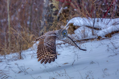 Great grey day (Peter Stahl Photography) Tags: greatgreyowl owl greatgrey vole meadowvole snow winter cold
