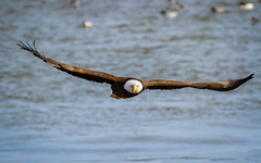 Head On with an Eagle (TroyMarcyPhotography.com) Tags: 11windchill americanbaldeagle canon400mmf56l canon7d illinois iowa mississippiriverbaldeagles2017 winter birds cold nature wildlife wwwtroymarcyphotographycom