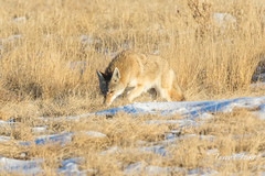 Coyote sniffs around, looking for a meal