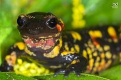 Salamandra-de-pintas-amarelas, Fire salamander (Salamandra salamandra) (Nuno Xavier Moreira) Tags: salamandradepintasamarelas firesalamandersalamandrasalamandranunoxavierlopesmoreirangc ngc wildlife nuno xavier moreira liberdade selvagem portugal xfx35 httpsyoutubezumnftsrutu httpbicheandonet201702anfibiosdeportugalunviajeinesperado macro amphibian anfíbios salamandrasalamandra commonfiresalamander firesalamander
