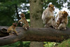 3 monkey babies - Barbary Macaques - Berberaffen (okrakaro) Tags: 3monkeybabies animal baby barbarymacaques family berberaffen dreiaffenbabies familie tree treetrunk bole baumstamm natur zoo rheine september 2013 germany