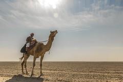 Al-Qalayel 2017 (ahmed.hussam) Tags: desert qatar camel falcon arab alqalayel القلايل الصحراء قطر صقر جمل ناقة