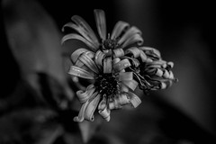 (C-47) Tags: blackwhite noirblanc blackandwhite black bokeh flowers dark sensual touch touching noiretblanc droplets drops dreams dof deep details depth darkness death