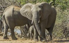 Go get 'em, Mom! (philnewton928) Tags: africanelephants elephants loxodontaafricana mammal animal animalplanet wild wildlife nature natural letaba kruger krugernationalpark africa southafrica outdoor outdoors safari nikon nikond7200 d7200