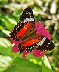 Borboleta (Paulo Mattes) Tags: butterfly borboletas borboleta boatarde nature naturelovers natureza insetos