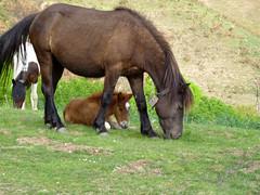 P1030688-c (OL!v!ER) Tags: refletdagences animal animaux cheval poney pottok poulain jument