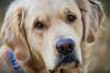 Yogi '17 (R24KBerg Photos) Tags: happy goldenretriever yogi canon pet nc northcarolina dog cute handsome friend portrait bokeh 2017 sweet jowls animal