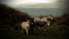 one horse three donkey's (dorameulman) Tags: march wind sheepsheadpeninsula thegoatspath horse donkeys landscape seascape cocork ireland dorameulman canon canon7dmark11 haiku poem