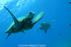 Two turtles (Aaron Lynton) Tags: canon hawaii snorkel turtle dive like diving maui snorkeling turtles honu greenseaturtle g1x