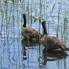 Branta canadensis eating reed (EilaK: Visit my nice galleries too!) Tags: reeds helsinki brantacanadensis vuosaari kallahti