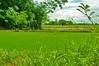 DSC_0137 copy (kenken.marilag) Tags: flower cow rice philippines farming nueva baka palay ecija lupao