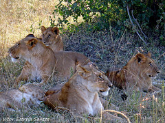 Lions (Vitor Estrela Santos) Tags: africa kenya lion beautifulpeople masaimara beautifulnature sonydscv3 beautifulworld qunia maasaimaranationalreserve pantheraleonubica masailion vitormes eastafricanlion