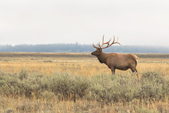 Bull Elk (Kenny C Photography) Tags: animal mammal nationalpark wildlife antlers wyoming elk nationalparkservice wapiti herbivore grandtetonnationalpark bullelk cervuselaphus wildlifephotography maleelk kennycphotography