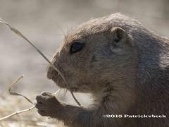 Lekker aan het eten (PatrickvBeek) Tags: park dutch animal zoo photo rotterdam blijdorp foto outdoor nederland thenetherlands natuur patrick olympus prairiedog dieren beesten dierentuin zuidholland prairidog knaagdier prairiehond zoogdieren prairiehonden patrickvbeek