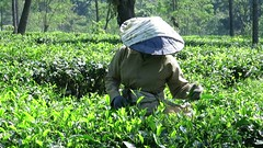 Picking tea leaves (PeterCH51) Tags: indonesia java video tea plantation picking tealeaves picker teapicker peterch51
