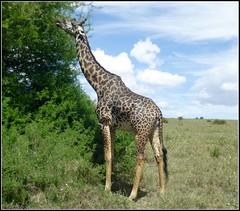 jP1020544b (KrisFricke) Tags: kenya nairobi safari giraffe nairobinationalpark