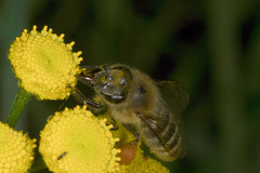 Honigbiene auf Rainfarn (Veit Schagow) Tags: bee gelb insekt tansy honigbiene rainfarn bestäubung bestaeubung