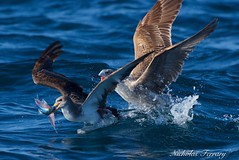 Snatch My Food (Nicholas Ferrary) Tags: sea seagulls nature water nikon wildlife seagull sealife naturalhistory shearwater tuna gibraltar mediterraneansea seabirds marinelife flyingfish corysshearwater straitsofgibraltar bluefintuna vr2 200400mm d810 baitball bayofgibraltar nikond810 nikon200400mmvr nikon200400vr2 gibraltarwildlife nicholasferrary d800e nikond800e