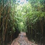 Hawaii Maui Bambuswald bamboo forest thumbnail