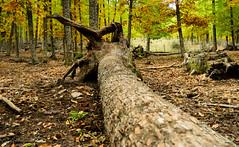 Reto LUZete- PDC grande- Tronco (geral269) Tags: bosque rbol otoo tronco