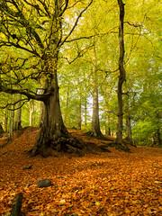 Lagan Beechwood 1 (frcrossnacreevy) Tags: autumn woodland october 1001nights beech 2015 polariser 1001nightsmagiccity flickrbronzetrophygroup olympusem1 olympus1240mmf28