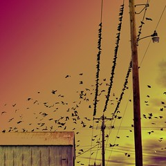Multitude (Pfish44) Tags: birds pigeons flock hss birdsonwires sliderssunday