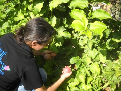 Sarah picking Passion Fruits Deirkoubel b Oct 17, 2015