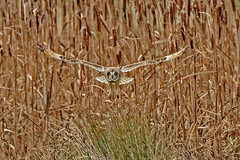 Another Shortie about to pounce (Judi.Mahon) Tags: seo shortearedowl