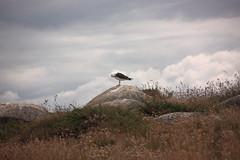 Grat' grat' grat' (philippe.ducloux) Tags: france bird nature canon brittany seagull gull bretagne oiseau mouette finistre le goland batz ledebatz 450d canon450d strictlygeotagged natureonly