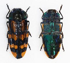 Conognatha germaini (Bennyboymothman) Tags: buprestidae conognatha taxonomy:binomial=conognathagermaini