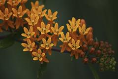 Butterfly-weed (milesizz) Tags: orange wisconsin milwaukee wi asclepias butterflyweed asclepiadaceae asclepiastuberosa 5petals wfgna