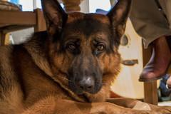Boss (FurtiveOutsider) Tags: dog pet dogs friend shepherd best german chef alsatian alsation helper sous gsd videx
