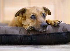 _H000451-2 (b.kunst17) Tags: 2016 nikon d500 sigma 14 art jule hund hunde tier tiere haustier haustiere animal animals dog dogs pet pets