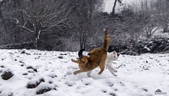 The Final Combat ❄ (Xena*best friend*) Tags: richardgere rg britneyspears bs catsinaction flyingcats atfullspeed cats whiskers feline katzen gatto gato chats furry fur pussycat feral tiger pets kittens kitty piedmontitaly piemonte canoneos760d italy wood woods wildanimals wild paws animals calico markings ©allrightsreserved purr digitalrebelt6s efs18135mm flickr outdoor animal pet winter snow cold frozen catsinthesnow catsrunninginthesnow catsplayinginthesnow catshavingfuninthesnow catcombat combat felinecombat