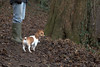 On the walk (KelJB) Tags: jackrussell terrier dogwalk cute animal pet canine dog