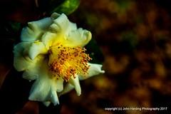Winter Rose (T i s d a l e) Tags: tisdale winterrose camellia camelliajaponica camelliabeds farm winter december 2016 easternnc