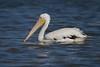 American White Pelican (marquesdavid) Tags: americanwhitepelican mexico riolagartos