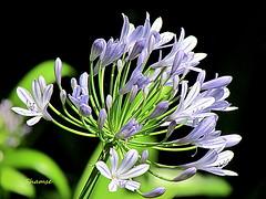 Flowers on Thursday. (salsol - Sham'C ♈) Tags: flowers beauty blue garden nature ireland dublin onblack beautiful shakira chantaje maluma music latin pretty beleza light