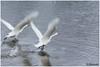 on the run (HP003697) (Hetwie) Tags: northernlight natuur noorderlicht noorwegen nature see sneeuw zee snow winter zwaan landscape landschap auroraborealis swan norway nordland