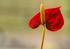 FIORE DI ANTHURIUM. (FRANCO600D) Tags: anthurium fiore fioreesotico cuoredellehawaii cuore rosso red heart araceae canon eos600d sigma franco600d