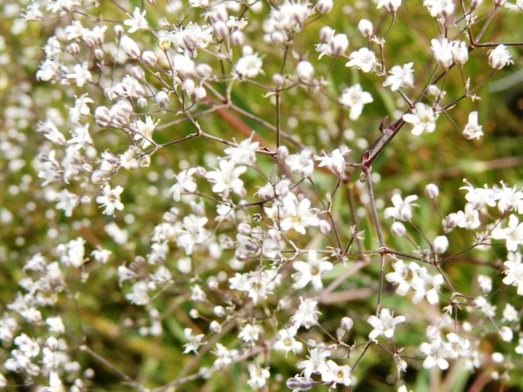 Gypsophylla4