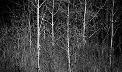 Poplars (mswan777) Tags: michigan woods black white ansel nikon d5100 sigma 70300mm scenic hiking nature pattern