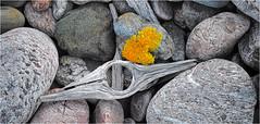 Driftwood, Advocate, Nova Scotia... Iscorama anamorphic (Small Creatures) Tags: anamorphic anamorphiccloseup cinemascope d60 advocate driftwood lichen nikkorh85mm nikond60 novascotia cumberlandcounty iscorama isco iscoramacloseup widescreen
