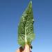Cichorium intybus leaf2 CWS