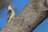 Red-bellied Woodpecker (John Picken) Tags: bird canon illinois littleredschoolhouse naturecenter palos picken willowsprings wwwpickencom redbelliedwoodpecker