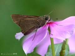 skipper (probably small branded swift) (LPJC) Tags: kerala d11 india 2015 lpjc skipper butterfly